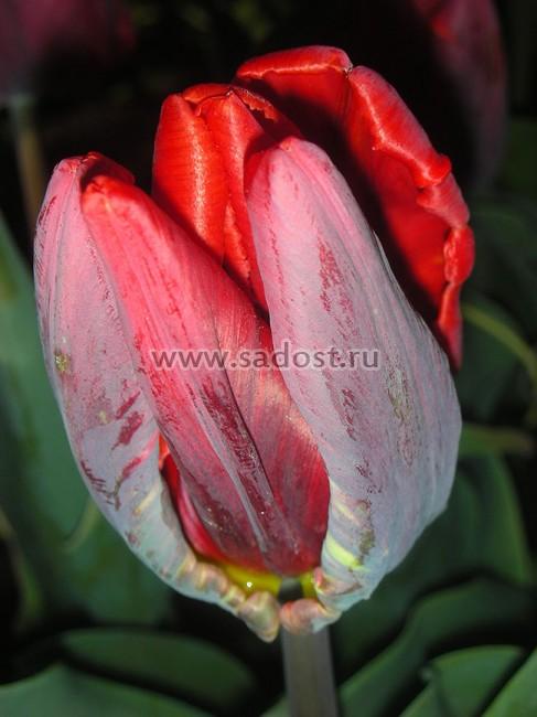 Тюльпан Попугайный Рококо Дабл (10 шт.), купить в Москве, тюльпаны ... | 650x487